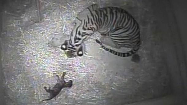 Tigerwinzling ohne Namen