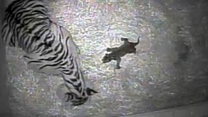 Tiger-Baby drei Wochen nach der Geburt ertrunken