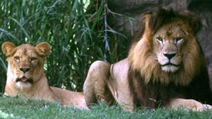 Dunkel, dunkler, sexy: Bei Löwen kommt's auf die Mähne an
