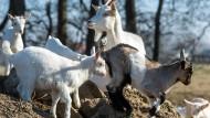 Ziegen mit Muttertier auf einem Hof in Brandenburg