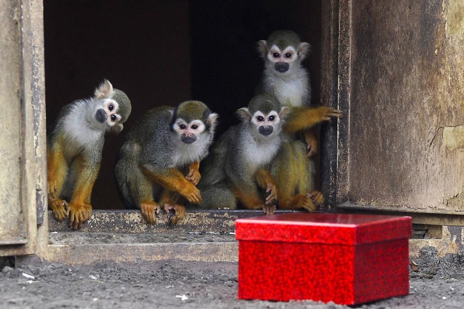 Bildergalerie: Bescherung im Zoo: Wenn Tiere Geschenke bekommen ...