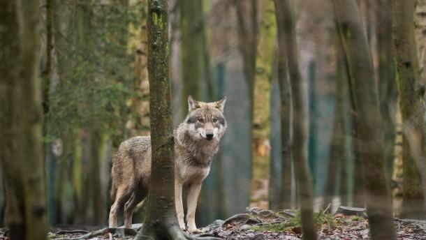 Zahl der Wolfsrudel steigt weiter an