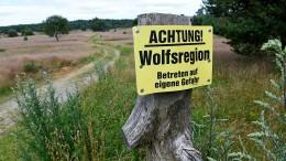 Zum Abschuss freigegebener Wolf totgefahren