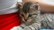 Ein Katzenbaby sitzt auf dem Schoß einer Person: So süß!