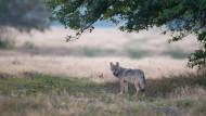 Rückkehrer: Seit 2000 breitet sich der Wolf wieder in Deutschland aus, dieses Exemplar wurde in Hessen gesichtet.