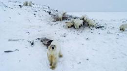 56 Eisbären nähern sich russischem Dorf