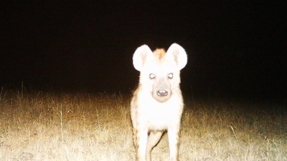 Eine Hyäne steht im Blitzlicht einer Fotofalle. Das sind fernbediente Kameras, die bei Bewegung im Kamerafeld ein Foto schießen.