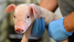 China tötet vorsorglich 120.000 Schweine