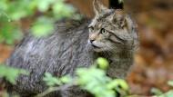 Eine knapp zwei Monate alte Wildkatze sitzt im Gehege im Wildtierpark.