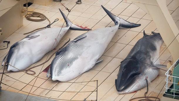 Mehrheit gegen ein Wal-Schutzgebiet im Südatlantik