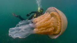 Taucher entdecken riesige Qualle