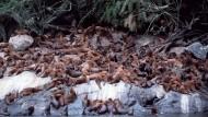 Gegen Ende des Jahres rücken die Mähnenrobben im Süden Chiles enger zusammen, weil Junge erwartet werden.