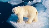 Naturschützer gehen davon aus, dass zwei Drittel der Eisbären bis 2050 verschwunden sein werden.