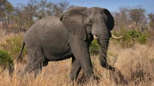 Ist der Mensch beschlagen, freut sich der Elefant