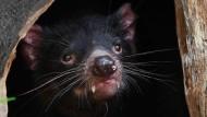 Tasmanische Teufel sind nachtaktiv und ernähren sich hauptsächlich von Aas.