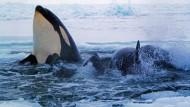 Dank des Neumondes konnten sich die Schwertwale aus ihrer verzweifelten Lage befreien.