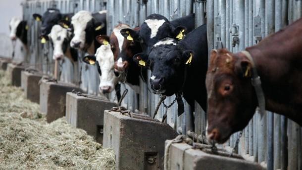 Industrielle Tierhaltung, Rinder