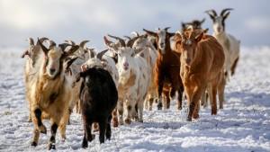 Lieber eine dumme Ziege als eine blöde Kuh