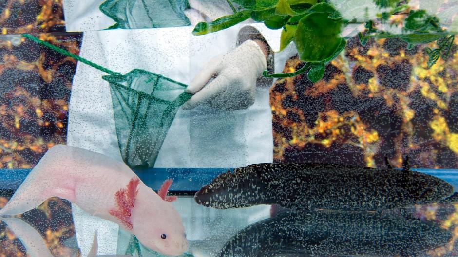 Exzellente Schwanzlurche: Ein Aquarium im Zentrum für Regenerative Therapien in Dresden, das bisher auch Exzellenzcluster war.