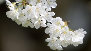 Warten auf die Kirschblüte