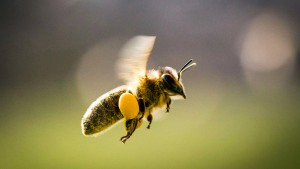 Bienen zum Mieten