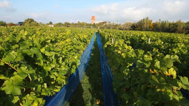 Sogar auf  Sylt wird Wein angebaut
