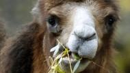 Ein Kamel, zwar nicht in Berlin entlaufen, aber trotzdem putzig