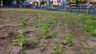 Polizei entfernt 700 Hanfpflanzen am Kottbusser Tor