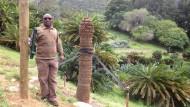 Palmfarne als Hehlerware
