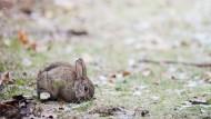In der Stadt sind Kaninchen gerne Single
