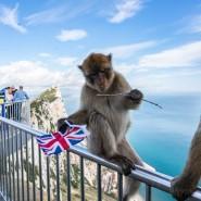 Weiß er, was er tut? Ein Berberaffe hält auf dem Felsen von Gibraltar den Union Jack in seiner Hand.