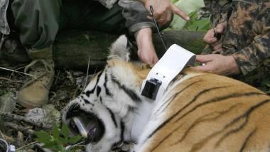August 2008: Putin legt einem Tiger ein Ortungssystem an