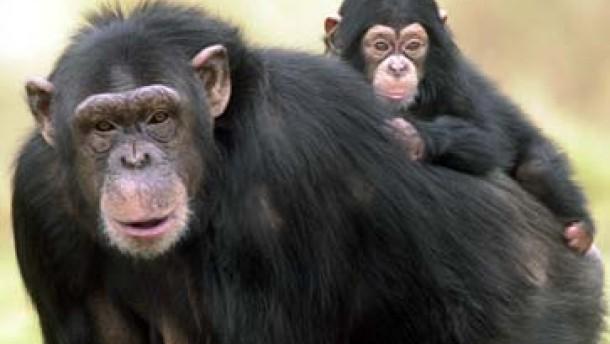 Stöbern in den Affengenen
