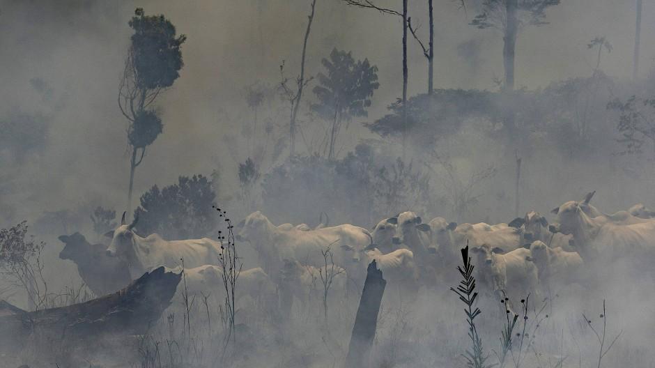 Eine Herde Rinder steht im Rauch während eines Brandes in der Region Nova Fronteira (Archivbild)