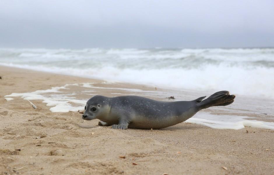 Ein junger Seehund auf Sylt