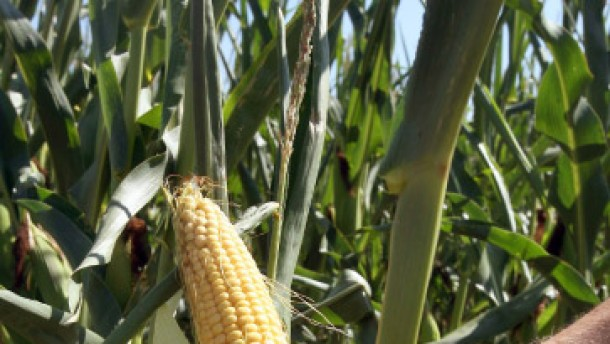 Jedem Land seinen Mais
