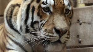 Tiger tötet Pfleger mit Biss in den Nacken
