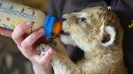 Tierpflegerin päppelt Löwenbaby im Wohnzimmer auf