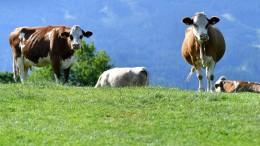 Fleischfrei essen rettet das Klima nicht