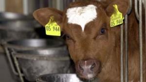 Schon wieder drei verdächtige Rinder