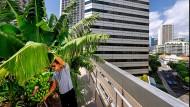 """Über den Dächern von Singapur: Der Gärtner Bjorn Low, der Gründer von """"Edible Garden City"""", baut hoch oben Bananen an."""