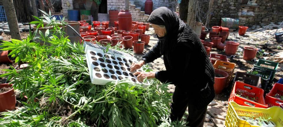 Kein Gemüsemarkt: Marihuana-Pflanzen in der Drogenhochburg Lazarete nach einer Polizeirazzia im Jahr 2014