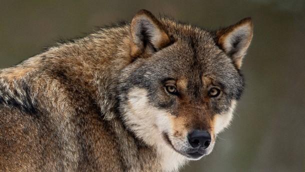 Hürden zum Abschuss von Wölfen werden gesenkt