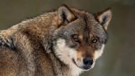 Die Rückkehr des Wolfs nach Deutschland hat zu einem starken Anstieg von Angriffen auf Weide- und Gehegetiere geführt.