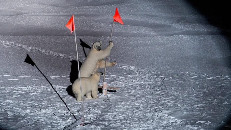 """Eisbären """"besuchen"""" eine Forschungsstation."""