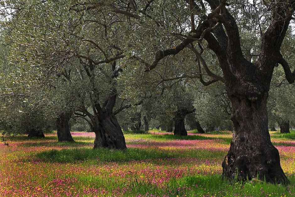 Auf der Akropolis ließ Athene den ersten Ölbaum wachsen, aus seinen Ästen wurde der Siegeskranz geflochten, mit seinem Öl wurden Könige gesalbt.