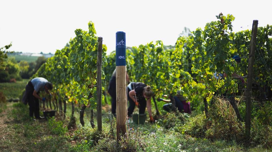 Weinbau ist Handarbeit – und im Idig, einem der besten Wingerte der Christmanns, wird besonders sorgfältig gewirtschaftet.