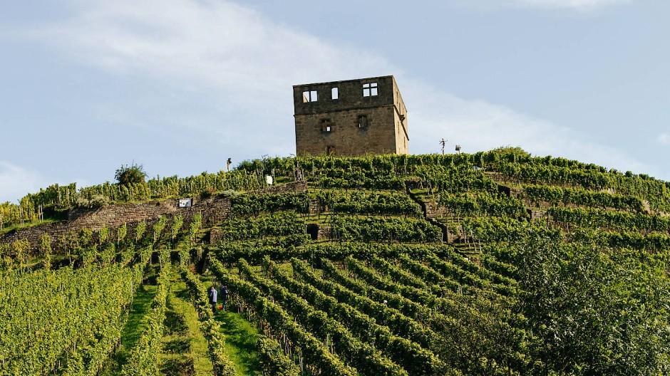 Guter Schutzgeist: Die Ruine der Y-Burg bewacht den Stettener Pulvermächer, eine der berühmtesten Weinbergslagen Württembergs.