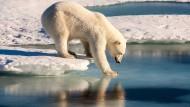 Das wichtige Sommereis ist geschrumpft. So zieht es den Eisbären immer weiter nach Norden. Manche bleiben auch unfreiwillig auf dem Land und verpassen die Abdrift des Eises. Dann wird der Sommer hart für sie.