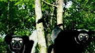 Zwei Indri im Dschungel von Madagaskar